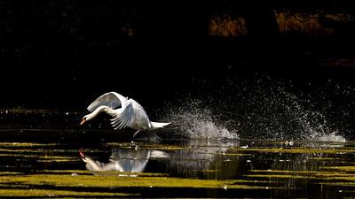 Höckerschwan (Cygnus olor), Mute Swan