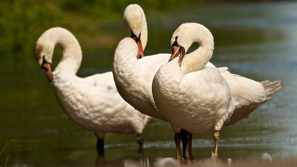 Höckerschwäne (Cygnus olor), Altrhein bei Au am Rhein, Deutschland Mute Swan (Cygnus olor), Old Rhine near Au am Rhein, Germany - mehr dazu im Blog: Waschstraße