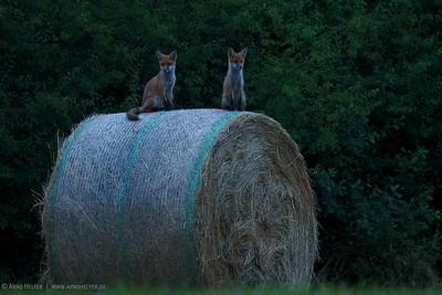 2 junge Rotfüchse (Vulpes vulpes) in der Dämmerung