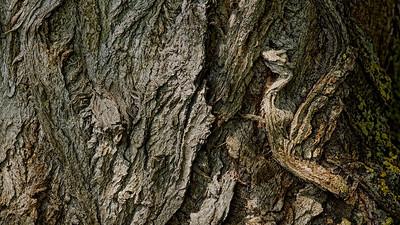 Ikran - wie ein Flugtier aus Avatar … Rinde einer Schwarz-Pappel (Populus nigra)  Like an Ikran from Avatar ... Bark of a Populus nigra