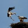 """Junge Weißstörche (Ciconia ciconia), Rheinauen am mittleren Oberrhein bei Elchesheim-Illingen, Deutschland<br /> Young White Stork in Flight, Germany<br /> - mehr dazu im Blog: <a href=""""http://arnohelfer.wordpress.com/2012/07/07/flugpremiere-der-jungstorche/"""">Flugpremiere der Jungstörche</a>  <br /> - mehr dazu im Blog: <a href=""""http://arnohelfer.wordpress.com/2012/10/14/der-rhein-von-oben-dreharbeiten/"""">Der Rhein von oben - Dreharbeiten</a>"""