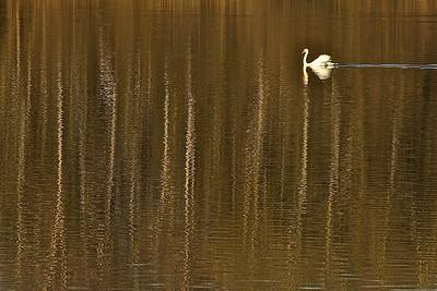 Schwanensee / Swan lake