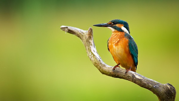 Common kingfisher (Alcedo atthis), Rheinauen - Germany