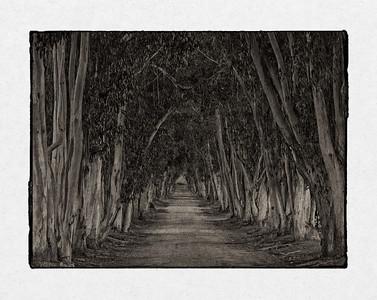 Eucalyptus Alley (blended)