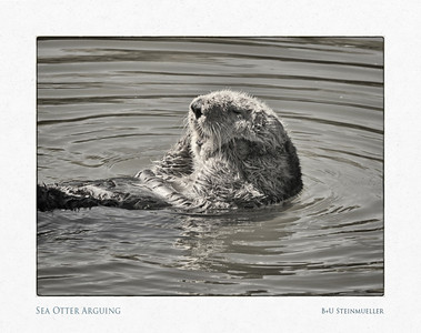 Sea Otter Arguing