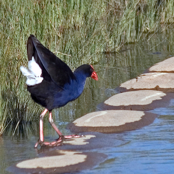 "TFa Pukeko 001.jpg<br /> 0 x 10.8 x10.8cm/4x4"" in stock<br /> 0 x 15x15cm/6x6"" in stock"
