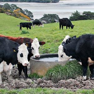 TFa cattle 002.JPG 0 in stock