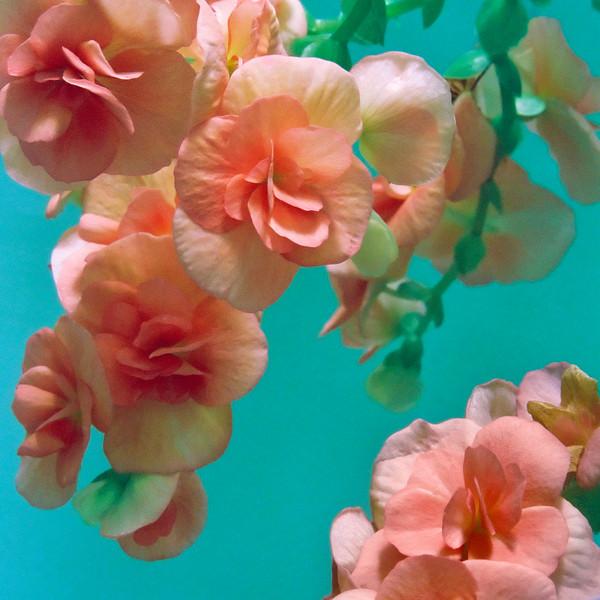 """TFE Begonia 002.JPG<br /> 1 x 10.8 x10.8cm/4x4"""" in stock<br /> 0 x 15x15cm/6x6"""" in stock"""