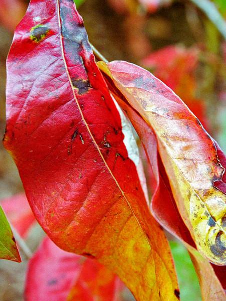 "TFE autumnleaf 001.5.jpg<br /> 0 x15x20cm/6x8"" in stock"