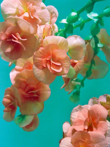 "TFE Begonia 001.5.jpg<br /> 1 x15x20cm/6x8"" in stock"