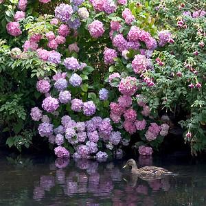 Hydrangea II with Duck