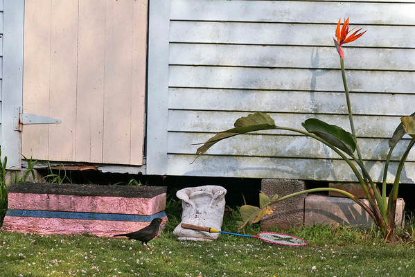 "TK Suburbs 003.jpg 20x30cm/8x12"" 0 in stock Series taken of wendy house and falling blossom and black bird in  back yard in Halston Rd 2006."