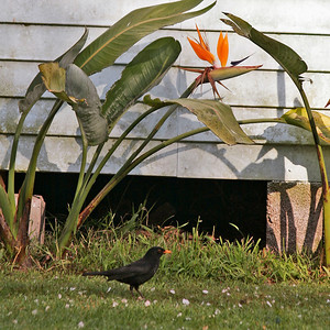 "TK Suburbs 004.jpg 0 x 10.8 x10.8cm/4x4"" in stock 0 x 15x15cm/6x6"" in stock Series taken of wendy house and falling blossom and black bird in  back yard in Halston Rd 2006."