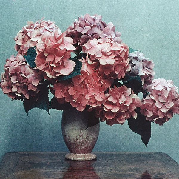"TK 1950's 001.jpg   <br /> 1 x 10.8 x10.8cm/4x4"" in stock<br /> ""Hydrangeas"" by Bill Elliot, photographed in the early 1950's. Image taken from scanned transparency in poor condition. Not available in larger sizes"