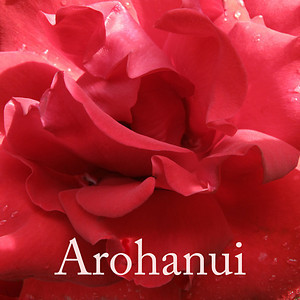 "TL Rose002.jpg Valentines day or appreciation tiles 0 x 10.8 x10.8cm/4x4"" in stock   ""Arohanui"" is a Maori way of saying ""with big love"" and the rose image is from a sunny morning ramble around the lush and colourful gardens of Mona Vale in Christchurch."