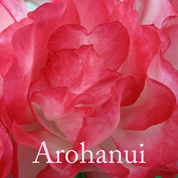 "TL Rose003.jpg<br /> Valentines day or appreciation tiles<br /> 0 x 10.8 x10.8cm/4x4"" in stock<br /> <br /> ""Arohanui"" is a Maori way of saying ""with big love"" and the rose image is from a sunny morning ramble around the lush and colourful gardens of Mona Vale in Christchurch."