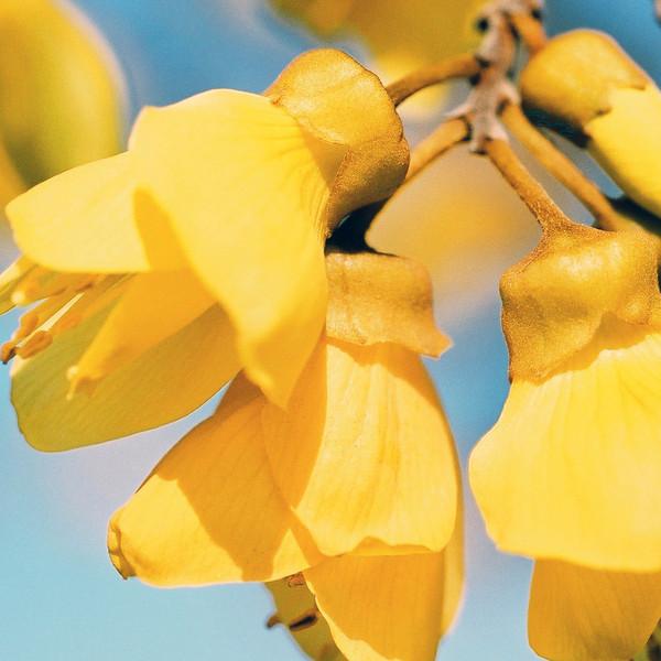 "TFN kowhaiflwr 005.jpg   <br /> Kowhai Flowers<br /> 1 x 10.8 x10.8cm/4x4"" in stock<br /> 0 x 15x15cm/6x6"" in stock"