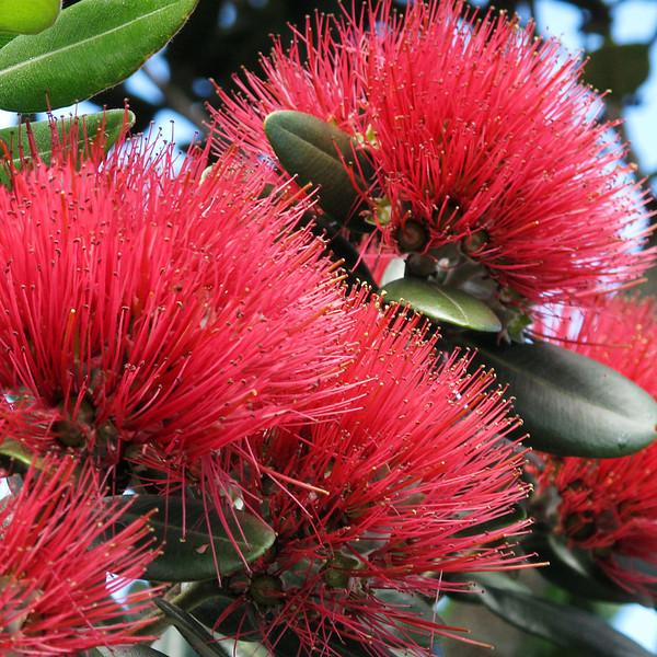 "TFN Pohutkwa 001.jpg<br /> Pohutakawa Blooms<br /> 1 x 10.8 x10.8cm/4x4"" in stock<br /> 1 x 15x15cm/6x6"" in stock"