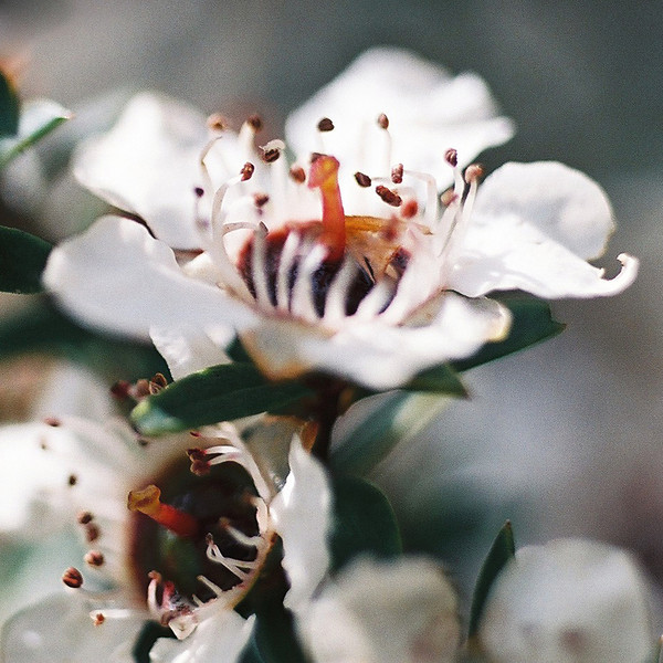 "TFN ManukaFlwr 003.jpg<br /> Manuka Flower<br /> 1 x 10.8 x10.8cm/4x4"" in stock<br /> 0 x 15 x15cm/6""x6""   in stock"