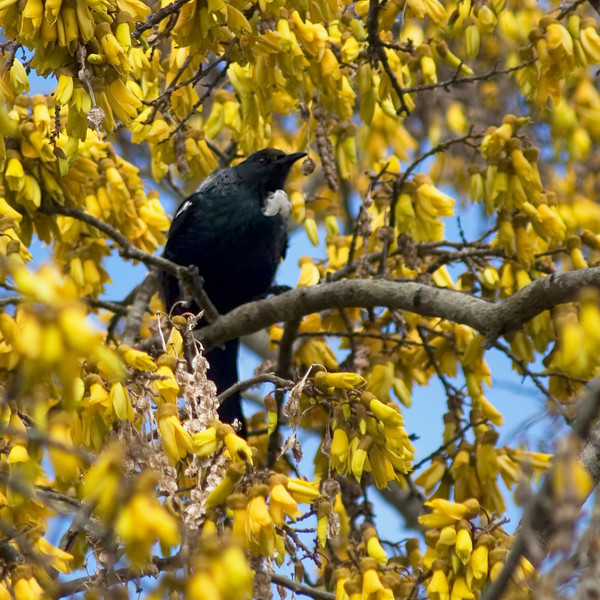 "TFN kowhaiTui 002.jpg<br /> Tui in a Kowhai Tree<br /> 1 x 10.8 x10.8cm/4x4"" in stock<br /> 0 x 15 x15cm(6x6"") in stock"