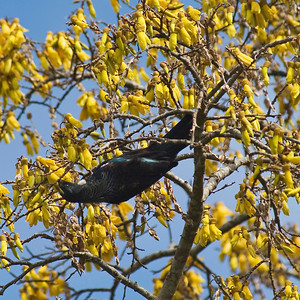 "TFN kowhaiTui 004.jpg Tui supping nectar in a Kowhai Tree 1 x 10.8 x10.8cm/4x4"" in stock 0 x 15 x15cm(6x6"") in stock"
