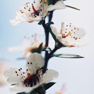 "TFN ManukaFlwr 002.jpg Manuka Flower 0 x 10.8 x10.8cm/4x4"" in stock 0 x 15 x15cm/6""x6""   in stock"