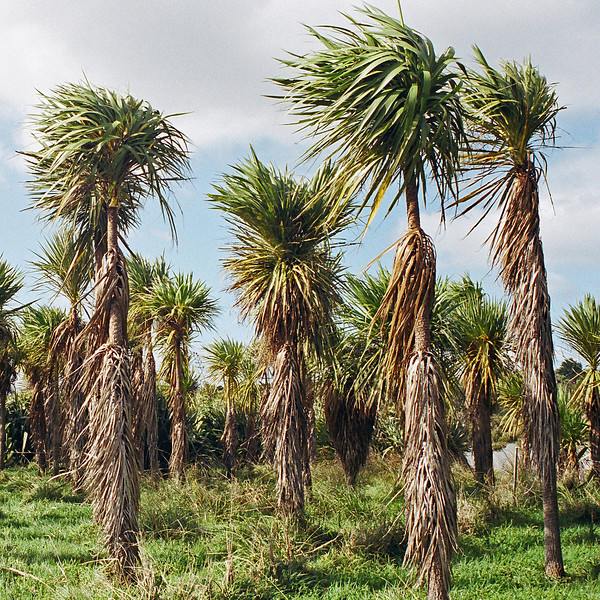 "TFN Cabtree 002.jpg<br /> Cabbage Trees, Puhinui Reserve, Manukau <br /> 0 x 10.8 x10.8cm/4x4"" in stock<br /> 1 x 15x15cm/6""x6""   in stock"