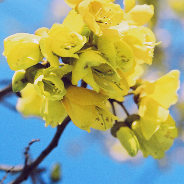 "TFN kowhaiflwr 002.jpg<br /> Kowhai Flowers<br /> 0 x 10.8 x10.8cm/4x4"" in stock<br /> 0 x 15x15cm/6x6"" in stock"