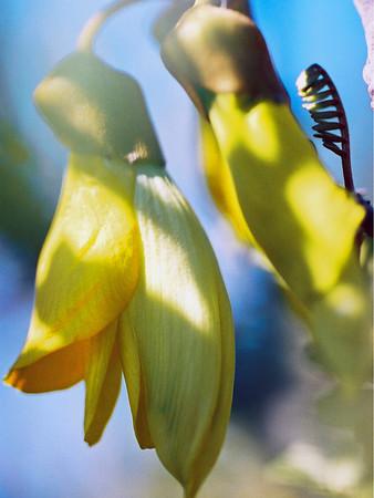 """TFN kowhaiflwr 003 6x8.jpg Kowhai Flowers 0 x 15x20cm/6x8"""" in stock"""