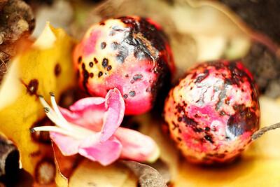 "TFN PuririFlwr 004.jpg Puriri flower and berries 20x30cm(8x12"") 0 in stock"