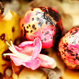 "TFN PuririFlwr 005.jpg Puriri flower and berries 0 x 10.8 x10.8cm/4x4"" in stock 0 x 15 x15cm/6""x6""   in stock"