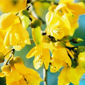 """TFN kowhaiflwr 001.jpg. Kowhai Flowers 0 x 10.8 x10.8cm/4x4"""" in stock 0 x 15x15cm/6x6"""" in stock"""