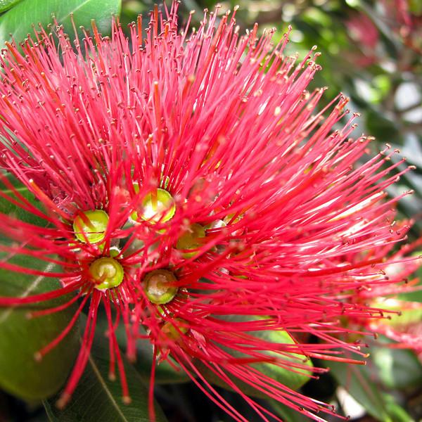 "TFN Pohutkwa 002.jpg<br /> Pohutakawa Blooms<br /> 0 x 10.8 x10.8cm/4x4"" in stock<br /> 1 x 15x15cm/6x6"" in stock"