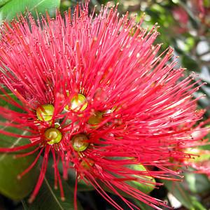 """TFN Pohutkwa 002.jpg Pohutakawa Blooms 0 x 10.8 x10.8cm/4x4"""" in stock 0 x 15x15cm/6x6"""" in stock"""