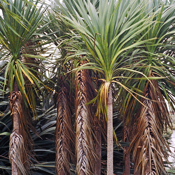 "TFN Cabtree 003.jpg<br /> Cabbage Trees, Puhinui Reserve, Manukau <br /> 1 x 10.8 x10.8cm/4x4"" in stock<br /> 0x 15x15cm/6""x6""   in stock"