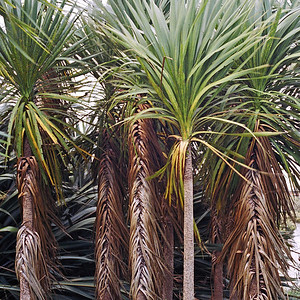 "TFN Cabtree 003.jpg Cabbage Trees, Puhinui Reserve, Manukau  0 x 10.8 x10.8cm/4x4"" in stock 0 x 15x15cm/6""x6""   in stock"