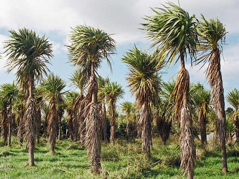 "TFN cabtree 001.5.jpg<br /> Cabbage Trees, Puhinui Reserve, Manukau <br /> 0 15x20cm/6x8"" in stock"