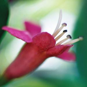 "TFN PuririFlwr 002.jpg Puriri Flower 0 x 10.8 x10.8cm/4x4"" in stock 0 x 15 x15cm/6""x6""  in stock"