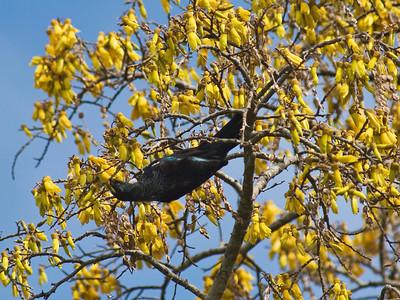"""TFN kowhaiTui 005.jpg Tui supping nectar in a Kowhai Tree 1x15x20cm/6x8"""" in stock"""