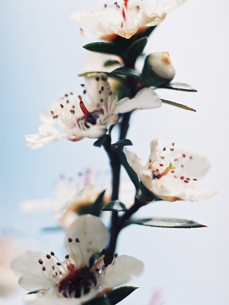 "TFN ManukaFlwr 001.5.jpg<br /> Manuka Flower<br /> 0 15x20cm/6x8"" in stock"