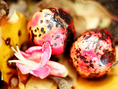 "TFN PuririFlwr 004.5.jpg Puriri flower and berries 0 15x20cm/6x8"" in stock"