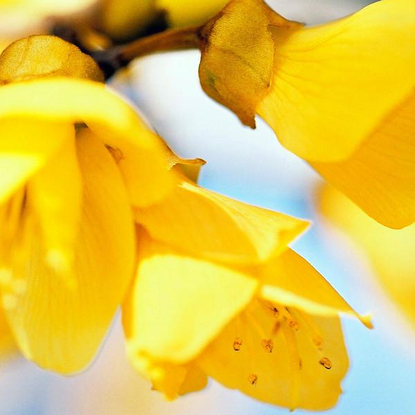 "TFN kowhaiflwr 006.jpg   <br /> Kowhai Flowers<br /> 1 x 10.8 x10.8cm/4x4"" in stock<br /> 0 x 15x15cm/6x6"" in stock"