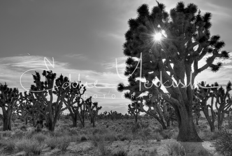 Joshua Tree National Preserve