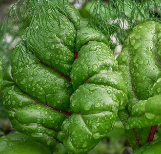 Succulent swiss chard after the rain, wearing a veil of dill.