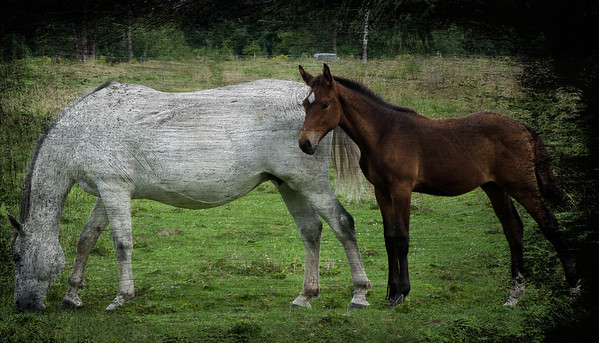 A young foal stays close to Mommy.