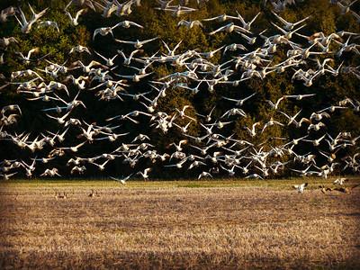 Snow geese feeding before their long flight.