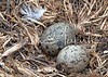 Sea Gull Eggs Ready To Hatch