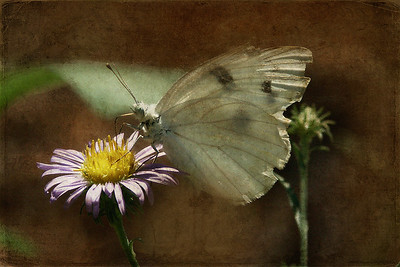 Cabbage Butterfly and FlowerTextures by Kim Klassen