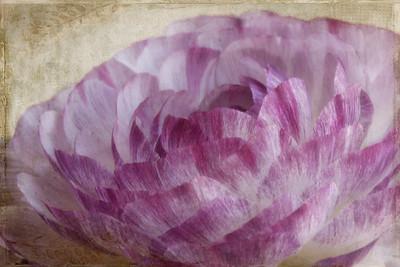 Lilac & White Ranunculus Textures by Kim Klassen