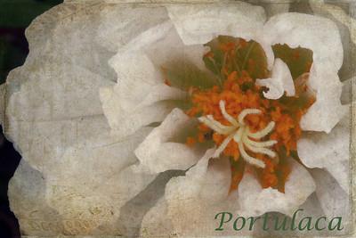 White Portulaca Textures by Kim Klassen